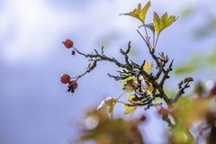 Ягоды боярышника в осени стоковое фото rf