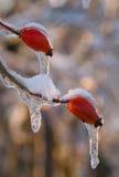 Ягоды вальмы в льде Стоковое фото RF