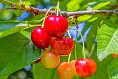 Ягоды вишни на ветви в саде Стоковое Изображение