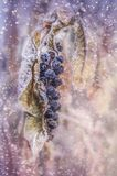 Ягоды в снеге стоковая фотография rf