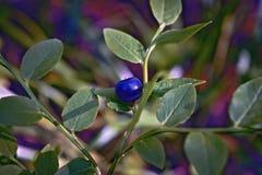 Ягоды голубики леса Стоковые Изображения