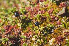 Ягоды голубики на ветви желтого Буша Стоковое фото RF