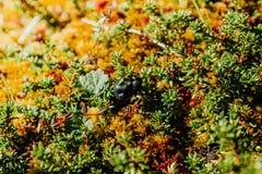 Ягоды голубики на ветви желтого Буша Стоковые Фотографии RF