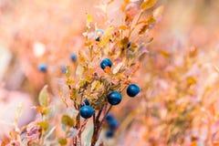 Ягоды голубики на ветви желтого Буша Стоковые Изображения RF