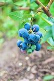 Ягоды голубики на кусте в саде Стоковые Изображения RF