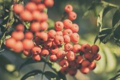 Ягоды дерева рябины на зеленом цвете Стоковые Изображения