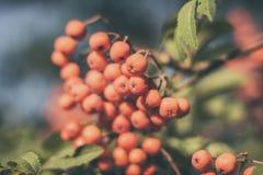 Ягоды дерева рябины Стоковые Изображения RF