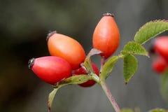 ягоды детализируют красный цвет Стоковые Изображения RF