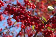 ягоды закрывают красный цвет вверх стоковое фото