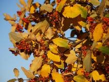 ягоды засаживают зрелую рябину Стоковая Фотография