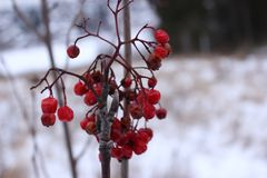 Ягоды зимы красные мертвые Стоковое Фото
