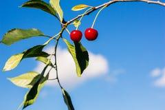 2 ягоды зрелых вишен на ветви Стоковое Фото