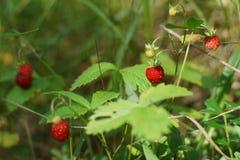 Ягоды зрелых красных клубник на кустах в лесе Стоковые Фотографии RF