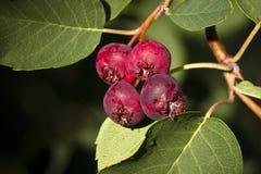ягоды зрея лето saskatoon стоковые изображения