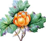 Ягоды и листья морошки стоковая фотография rf
