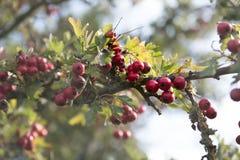 Ягоды красного цвета Буша боярышника стоковое фото rf