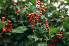 ягоды красные стоковые изображения