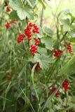 ягоды красные Стоковое Изображение RF