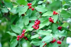 ягоды красные Стоковая Фотография