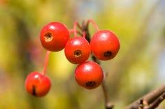 ягоды красные Стоковые Изображения RF