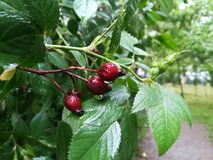 Ягоды плода шиповника на ветви Стоковые Фото