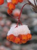 ягоды померанцовые Стоковые Фотографии RF