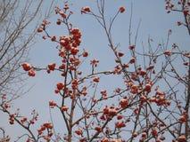 ягоды померанцовые Стоковые Изображения