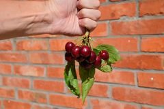 Ягоды сладостной вишни в руке на ветви с листьями Зрелая красная сладостная вишня Стоковое фото RF
