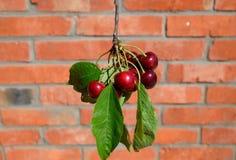 Ягоды сладостной вишни в руке на ветви с листьями Зрелая красная сладостная вишня Стоковое Фото