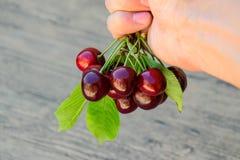 Ягоды сладостной вишни в руке на ветви с листьями Зрелая красная сладостная вишня Стоковые Изображения RF