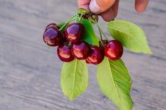 Ягоды сладостной вишни в руке на ветви с листьями Зрелая красная сладостная вишня Стоковая Фотография RF