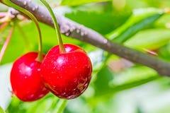2 ягоды сладостной вишни на ветви, макрос Стоковое Изображение