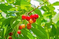 Ягоды сладостной вишни на ветви Стоковая Фотография RF