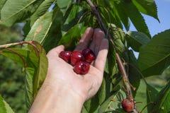 Ягоды сладостных вишен в руке Зрелая сладостная вишня Стоковое фото RF