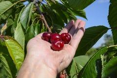 Ягоды сладостных вишен в руке Зрелая сладостная вишня Стоковые Фотографии RF