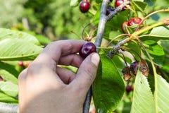 Ягоды сладостных вишен в руке Зрелая сладостная вишня Стоковое Фото
