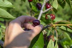 Ягоды сладостных вишен в руке Зрелая сладостная вишня Стоковая Фотография