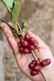 ягоды фасолей закрывают красный цвет кофе вверх Стоковые Фотографии RF