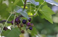 Ягоды черной смородины на ветви Стоковые Изображения