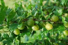 ягоды Стоковые Фото