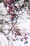 ягоды Стоковая Фотография