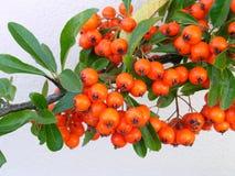 ягоды Стоковая Фотография RF
