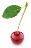 Ягода вишни при лист изолированные на белизне Стоковая Фотография