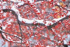 Ягода и снег зимы в северо-восточном снеге бушуют 2014 Стоковое фото RF