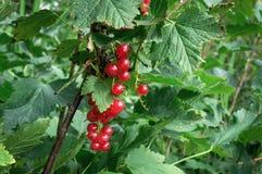 Ягода красной смородины Стоковые Фотографии RF
