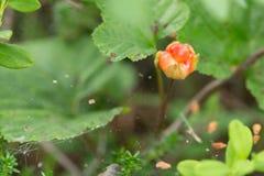 Ягода морошки в лесе Стоковая Фотография RF