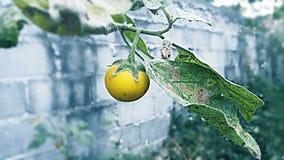 Ягода таракана Стоковая Фотография RF