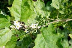 Ягода Турции, torvum Solanum на дереве, indicum l Solanum Стоковые Изображения
