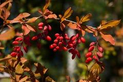 Ягоды барбариса vulgaris зрелые Стоковая Фотография