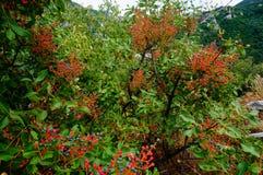 Ягоды Буша в горе Rhodope Стоковое Изображение RF